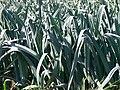 Allium porrum Poireaux2010 09 12 4.JPG