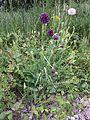 Allium rotundum sl25.jpg