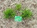 Allium senescens - Copenhagen Botanical Garden - DSC07674.JPG