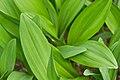 Allium victorialis ÖBG Bayreuth 01.jpg