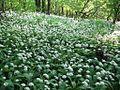 Alliumursinum-2-5-09-HundsheimerBergF14-16-52-E-MK-19931b.jpg