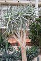 Aloe Dichotoma & Namibia-Sudafrica (1) (11983633534).jpg