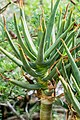 Aloe dichotoma in Botanischer Garten Muenster.jpg