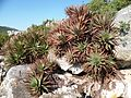 Aloe succotrina - Table Mountain - 5.JPG