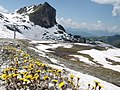 Along the route lovely springflowers appearing just after the snowmelting. In the back Rock du Serac 2659 m - panoramio.jpg