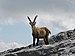 Alpensteinböcke, Capra ibex auf der Sulzfluh 1.JPG