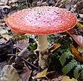 Amanita muscaria (49126992421).jpg