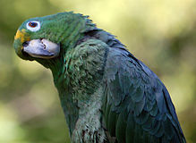 Amazona farinosa -upper body -Elmwood Park Zoo-6.jpg