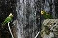 Amazona oratrix -National Aquarium -Baltimore-8a.jpg