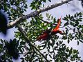 Amazonas, Kolumbien (11558394404).jpg