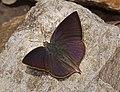Amblypodia anita dina – Purple Leaf Blue male (12).jpg