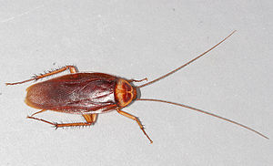 The american cockroach, Periplaneta americana....Photo by Gary Alpert
