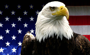 English: American Bald Eagle taken at the Hoog...