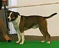 American Staffordshire Terrier 6.jpg