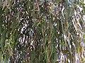 Amyema miquelii on Eucalyptus melliodora (37804672372).jpg
