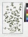 Anagallis coeruleo flore - Anagallide con il fiore turchino - Mouron. (Weatherglass) (NYPL b14444147-1125076).tiff