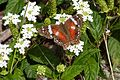Anartia amathea1.jpg