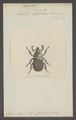 Anatista - Print - Iconographia Zoologica - Special Collections University of Amsterdam - UBAINV0274 021 01 0003.tif
