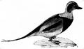 Andfåglar, fig d, Nordisk familjebok.png