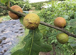 Andricus kollari oak marble gall, knikkergal.jpg