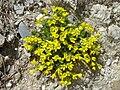 Androsace vitaliana 1.jpg
