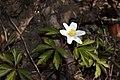 Anemone nemorosa 09.jpg
