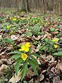 Anemone ranunculoides sl4.jpg