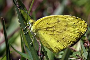Description de l'image Angled grass yellow (Eurema desjardinsii marshalli).jpg.