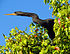 Anhinga in tree.jpg