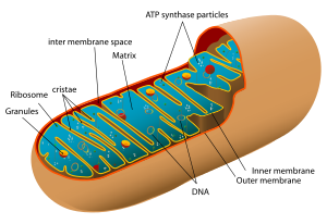 Animal mitochondrion diagram en