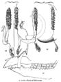 Animaldentition babyrousacelebensis.png