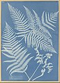 Anna Atkins - Pteris aquilina - Google Art Project.jpg