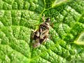 Anthocoris nemoralis (Anthocoridae sp.), Arnhem, the Netherlands - 2.jpg