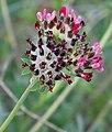 Anthyllis vulneraria (Rubriflora) .jpg
