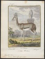Antilope dorcas - 1700-1880 - Print - Iconographia Zoologica - Special Collections University of Amsterdam - UBA01 IZ21400065.tif