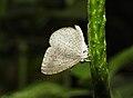 Apefly Spalgis epius by Dr. Raju Kasambe DSCN1502 (1).jpg