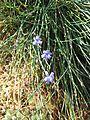 Aphyllanthes monspeliensis - Flickr - peganum.jpg