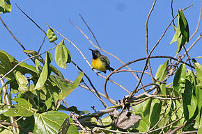 Description de l'image Apricot-breasted Sunbird.jpg.