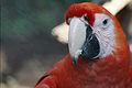 Ara macao -Zoologico Nacional de Nicaragua-8.jpg