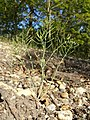 Arabidopsis thaliana sl26.jpg