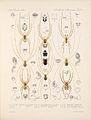 Arachnida Araneidea Vol 1 Table 20.jpg