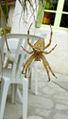 Araignée-Épeire.jpg