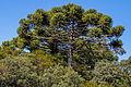 Araucária ou Pinheiro do Paraná (Araucaria angustifolia).jpg
