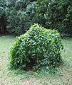 Arboretum des Barres--Parrotia persica pendula.JPG