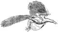 Archeopteryx Mivart.png