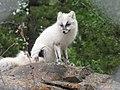 Arctic fox (42636438474).jpg