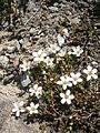 Arenaria biflora 01.JPG