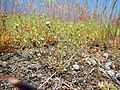 Arenaria serpyllifolia - thymeleaf sandwort - Flickr - Matt Lavin (2).jpg