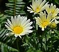 Argyranthemum frutescens '4starvan'.JPG