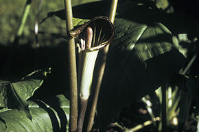Description de l'image Arisaema triphyllum WPC.jpg.